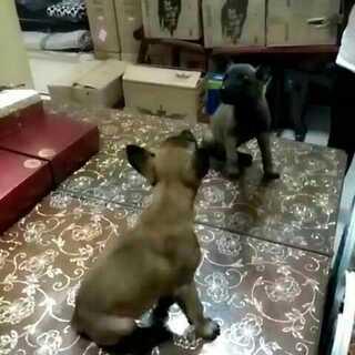 #宠物##小马犬成长记#小家伙第一次看见#镜子##宠物照镜子#的反应!(请忽略视频中凌乱的货物,我之前是住单位宿舍的,结婚后就成了单位库房了!)