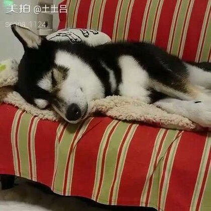 一只说梦话的单身狗 #宠物##热门#