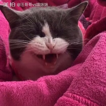 😂喵妹喜欢窝大声吼牠,小声一点没发应🌚你~说~什~么~我听~不~到~~大~~声~~点~~#宠物##喵星人##喵妹爱呲牙#