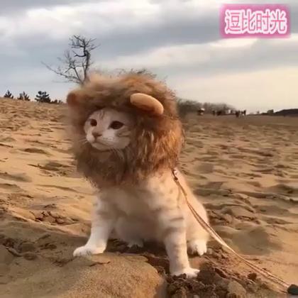 #逗比时光##搞笑#一头正在荒野上巡视的狮子,所有遇到牠的人都难以存活!😢😢😢😂😂😂