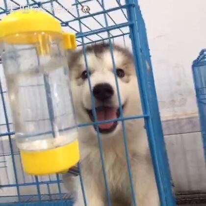 狗狗喝水大赛#可爱颂2##美拍小助手#