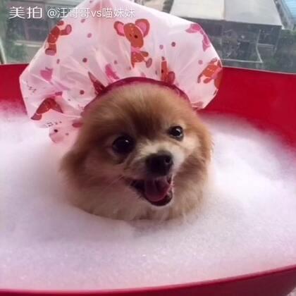 本仔人生一大快事😍泡泡浴🛀🏼那个舒适惬意啊😏就是怎么越泡越困!🙄全赖浴帽是阿妹的😶有毒 #宠物##给宠物洗澡##喵汪洗澡记#