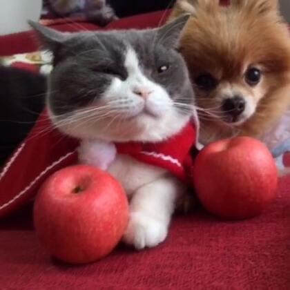 🎅🏻三宝齐岀镜✨祝大家平安夜快乐🎉别忘了吃苹果哦🍎#宠物##萌宠圣诞cosplay##喵妹爱呲牙#