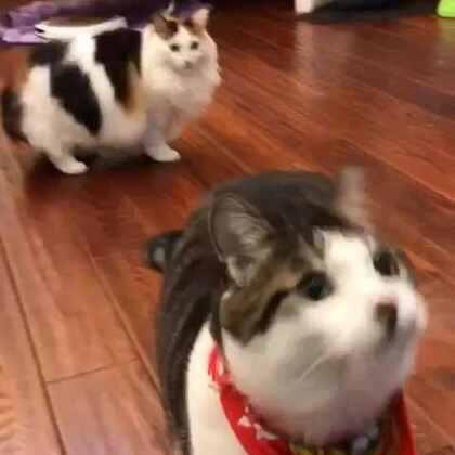 #厉害了我的猫#喂了几颗就记住了投掷,厉害了我的蒙!(昨天一不小心删了这个,太可惜了,希望大家顶起来)#宠物#