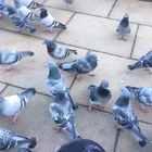 英国鸽子成精……撕一片面包扔在地上,他们好远就能看见然后飞过来#吃秀#英国鸽子的吃秀😂#英国留学##英国#