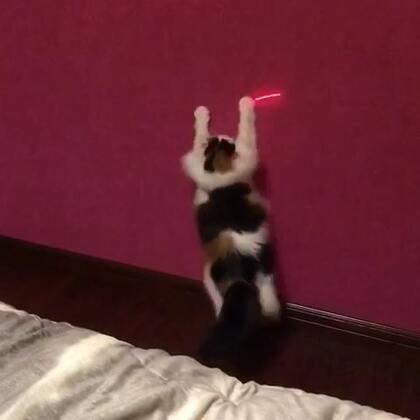 #宠物#跳不高、拼命跟着激光笔节奏的莎莎#喵星人#😂😂😂