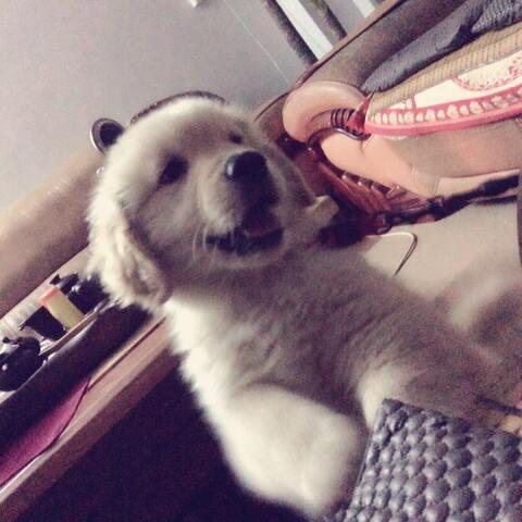 #宠物##萌萌哒小金毛# - 萌宠视频 - 可爱的小泡