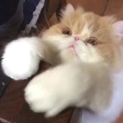 #宠物#每次吃🦐桑呆都是这样的抓狂[抓狂]一副你们要是不给我吃,我就给你们捣乱的架势……😂😂😂@猫侠