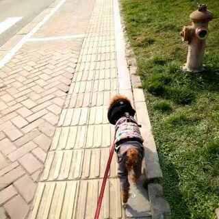 那天吉米出巡的时候,后来遇到一枚格外调皮的小伙伴儿,围着吉米直追😓,而我的吉米就显得格外的矜持😄,不停的躲啊--躲啊---把吉米妈妈的头给转的快要晕倒哒😜😄!#宠物##呼吁中国动保法##