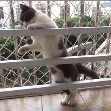 🐱:本宫和后宫爱宠毛球打情骂俏、你侬我侬的一天😎🌚你们快说,更喜欢我🤓还是更喜欢我的毛球。(视频是库存,那会刚好发现绝育后针口发炎,还是这么疯!)#宠物##自制毛球##看看自己家猫有多长#
