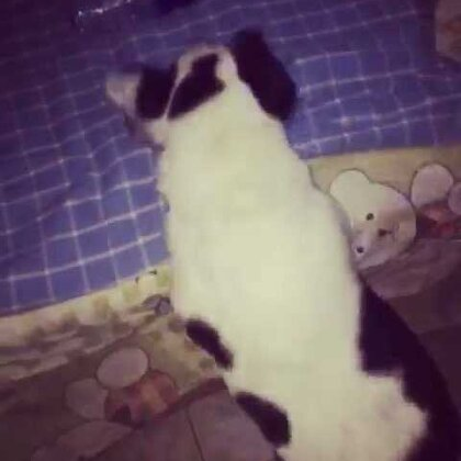 哈哈哈……腿太短跳了半天都没咬到瓶子😂😂😂😂#宠物#