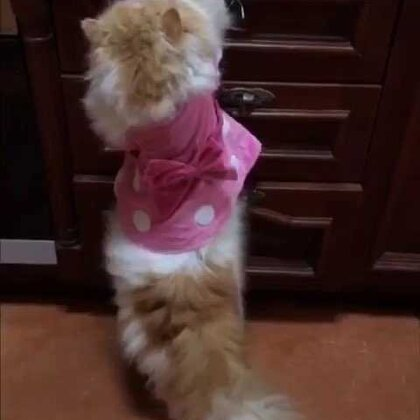 #宠物#厨房里的捣蛋鬼……😹😹😹(桑呆对🦐是真爱啊😍)@猫侠