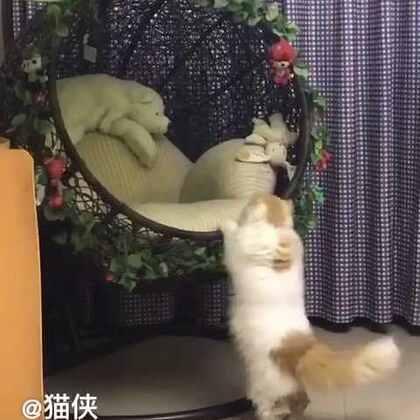 #宠物#晚饭后,猪哥悠闲的喝着酸奶,桑呆忙活着跟吊椅较着劲儿……最后无趣的离开了……😂😂😂@猫侠