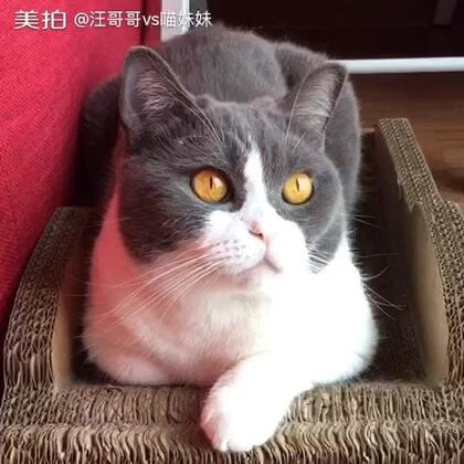 动静皆宜的喵妹😉眉毛挂着个是什么?大家来猜一猜💛#宠物##萌宠美瞳秀#