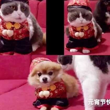🌹🌹三宝㊗️大家元宵节快乐,团团圆圆,幸福安康,记得吃汤圆哦❤️❤️#宠物##元宵节快乐#