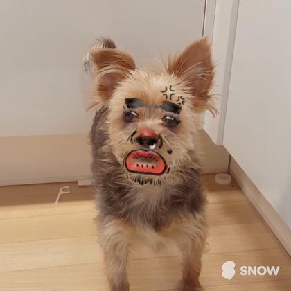 #铲屎官大战汪星人# 又一部顶尖制作的喵爸汪妈总动员,你被萌化了吗?#SNOW相机#