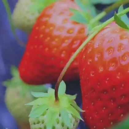#古香古食# 眼下草莓正当时,亲手为自己酿一壶如晨露般清甜的草莓酒吧!🍓 (后天忙完去姑姑家收一筐地里的尾果给你们酿酒,逮10个小酒鬼每人送上一斤香香甜甜的草莓酒吧❤️)#美食# PS:视频内容很红很暴力,打开需谨慎😈