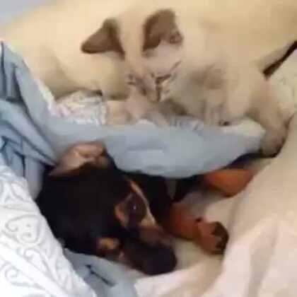 #萌宠##宠物狗狗##可爱狗狗##神经猫# 猫咪欺负狗狗