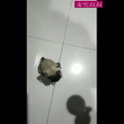 台湾网友家一只叫肉圆的小巴哥,吃饭特别猛。。😂
