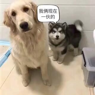 俩败家玩意联盟了#搞笑##阿拉斯加##宠物#