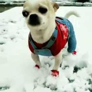 你那里下雪了吗⛄我们这里的雪好大,皮皮冻成🐶了#宠物##宠物内心小剧场##吉娃娃#😍😍⛄⛄🐶🐶🎵📷