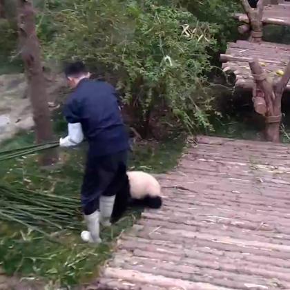 一只爱抱大腿的小熊猫,不爱竹子爱大腿!😂😂😂