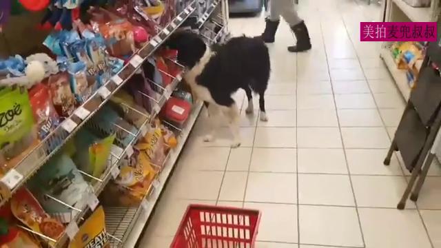 一只超聪明的边牧,跟着主人去超市,自己给自己拿吃的,叼着去结账,简直无敌了。。我怀疑我的麦兜是一只假边牧!😂