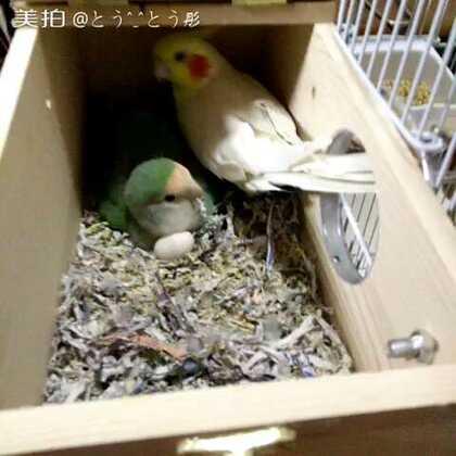 #孵蛋中##随手美拍#实在忍不住想看看孵蛋情况,已经第二次下蛋了,每次都勤勤恳恳的孵蛋,等过两天偷偷把蛋拿出来看看,他们俩会不会有生殖隔离😅