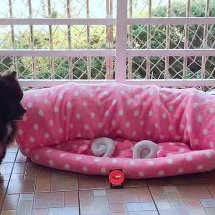 😂新玩具,喵妹开发出捉迷藏吓人功能😅傻大黑吓懵了都😜#宠物##黑仔BB##宠物独特叫声#