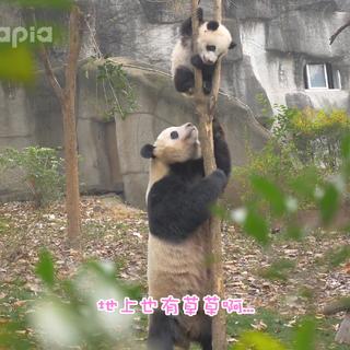 【也就才看二十遍】第四十七话 :【熊生走过最长的路,就是妈妈的套路】想看福来更多精彩视频吗,戳链接呀http://www.pandapia.com.cn#大熊猫##PANDAPIA##也就才看二十遍#
