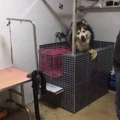 一只拒绝洗澡的狗……撒娇卖萌也没用@丸子轮—它爸 @美拍小助手 #我的宠物萌萌哒##宠物洗澡#