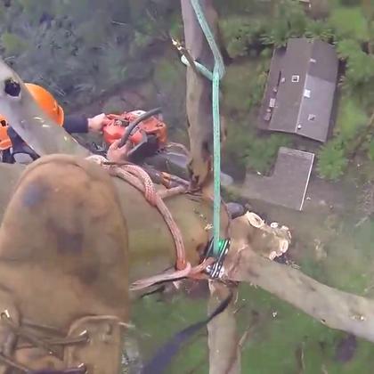 70米高的大树,国外专业伐木爬到顶砍伐,我工作你愿意干吗?😃😃😃