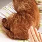 #宠物##泰迪#我可能养了一条假狗