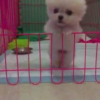 #家有萌宠##博美犬#长大了,会越狱了,急死多米了,最后翻出来没拍到😂