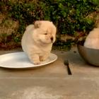 一只想努力从碗里爬出来的松狮宝宝,圆滚滚的样子实在太犯规😂