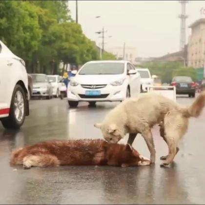 """近日,一只小狗在衢州闹市街道上被汽车撞死,另一只狗不顾危险,一直在旁守候,还不时低沉叫唤、用前爪""""推搡"""",似乎想""""唤醒""""死去的同伴。半小时后被撞狗主人哭着把爱犬遗体带走,陪伴的小狗还追着遇难的同伴一直跑!😭"""