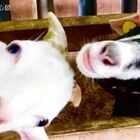 幸好上次的沙巴之旅摄影师没被吃掉。。。沙巴,我们又要来了!点这里收看去年的沙巴之旅:http://m.youku.com/video/id_XMTY4MzUwMDk1Mg==.html?action=embedplay #搞笑##寵物##旅行##马来西亚#