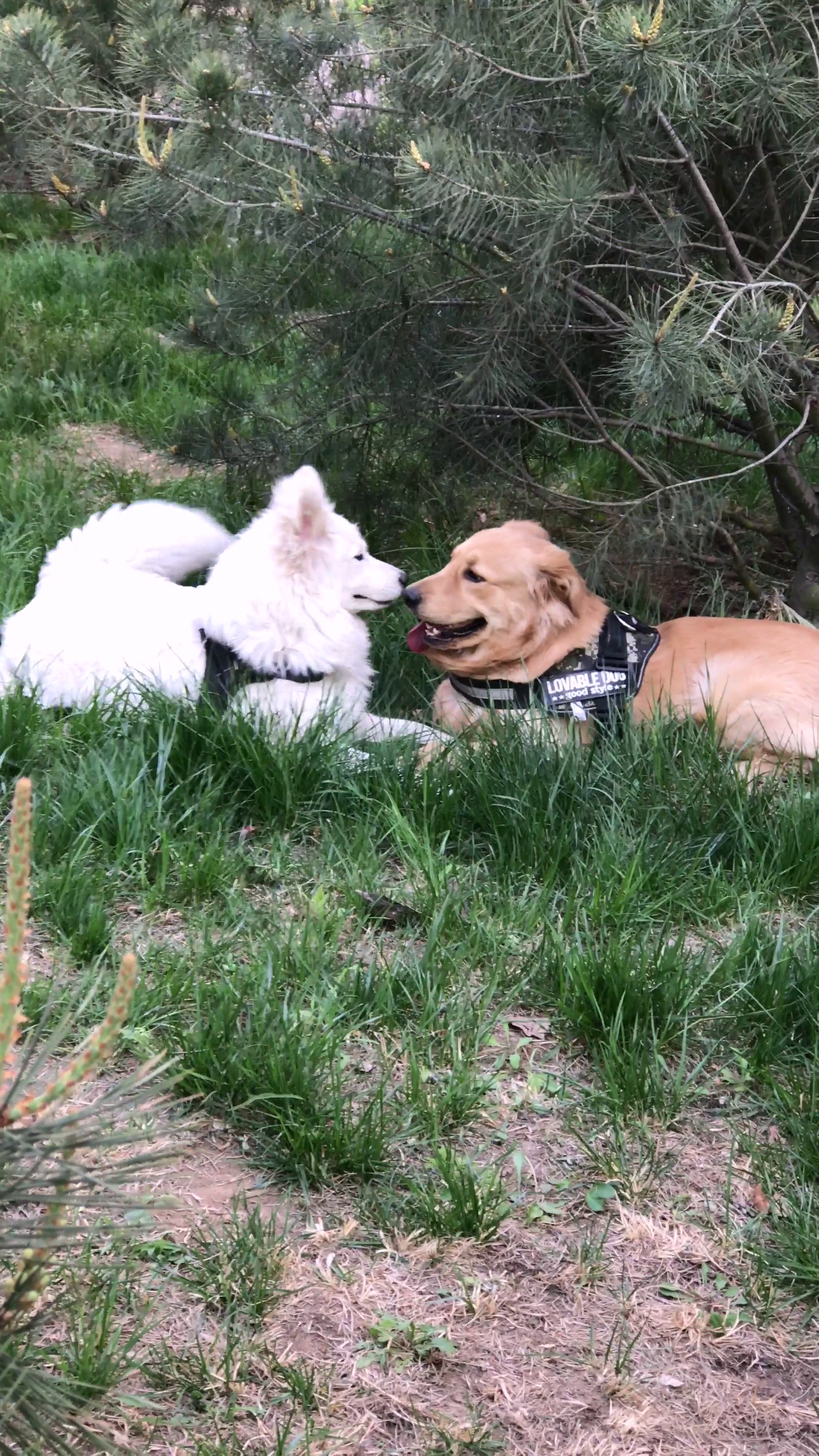 唉,刚刚带着花花和麦兜到楼下玩,花花背着麦兜和别的狗狗玩得好亲密,不料正好被麦兜撞见了。。💔😪😂