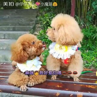 小魔豆😜每天都陪伴在麻咪身边👨❤️💋👨娘俩好幸福哦👄👄👄😘😘😘#宠物##我的宠物萌萌哒##小魔豆一家#