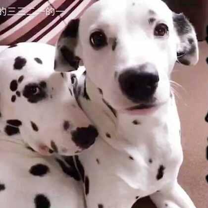 腻歪死了🙄️。 🐶💕🐶#宠物##520秀恩爱大赛#