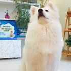 #麦兜和花花#作为一只原本应该生活在寒冷的西伯利亚的犬种,花花对于雪糕和冰淇淋的抵抗力,简直可以说是负无穷!🤣