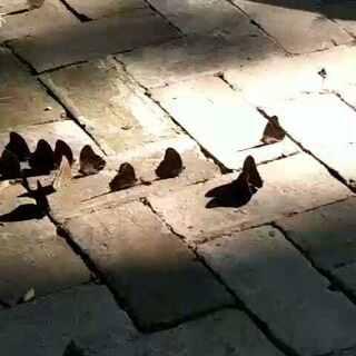 #逛拍##蝴蝶#在山区的树林与竹林里不知道哪来这么多蝴蝶#手机摄影#