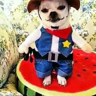 哈哈哈牛仔皮皮来了#吉娃娃##穿秀##宠物#😍😍😍😘😘😘😘👏👏👏