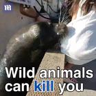 不要过于接近野生动物是有原因的.