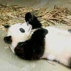 #搞笑##吃秀##成都大熊猫基地#前几天在成都大熊猫基地拍的~太可爱啦!