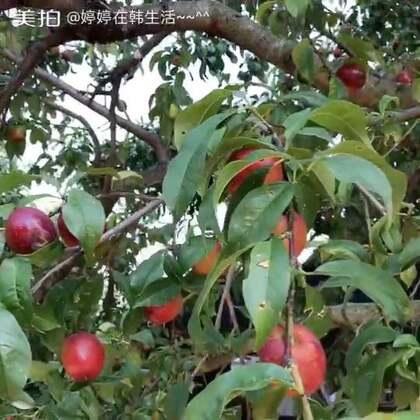 第一次看见桃子树~~ 特别开心 就前前后后摘了好几个小油桃😂 而且好甜~~ 小舅妈做的海带汤最好喝~~ 祝爸爸们节日快乐~~😘😘@美拍小助手 #吃货的日常#