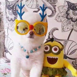 #宠物#偶和小黄人哪个更酷😎哦😜#我的宠物萌萌哒##家有萌宠博美#