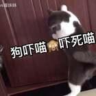 🐱:黑哥!!!丫差点被你吓破喵胆🙈太丢喵脸了#宠物##有戏##宠物酷炫技能#