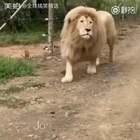 有史以来第一只会唱歌的狮子#全球搞笑精选#