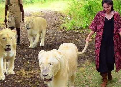 你敢挑战摸狮子的屁股吗?与狮同行想要保命,一定要遵守这几项哦!#hi走啦##带着美拍去旅行##动物#